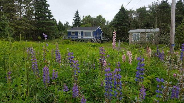 Cottage yard with lupins